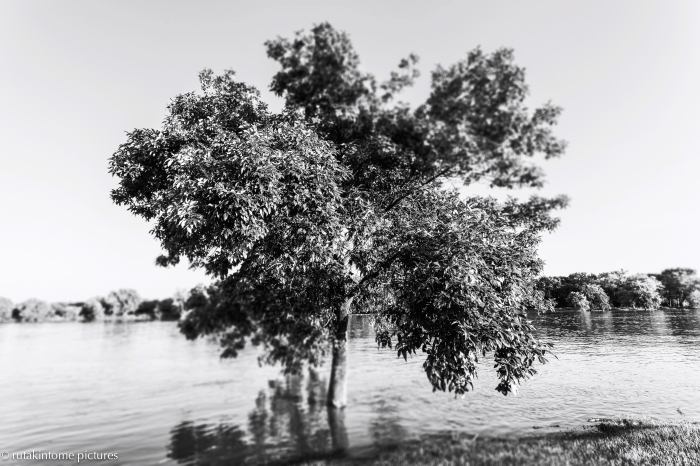 Normally, you can sit at the foot of this tree and do some fishing. We have had lots of rain - and flooding - in Illinois this summer...
